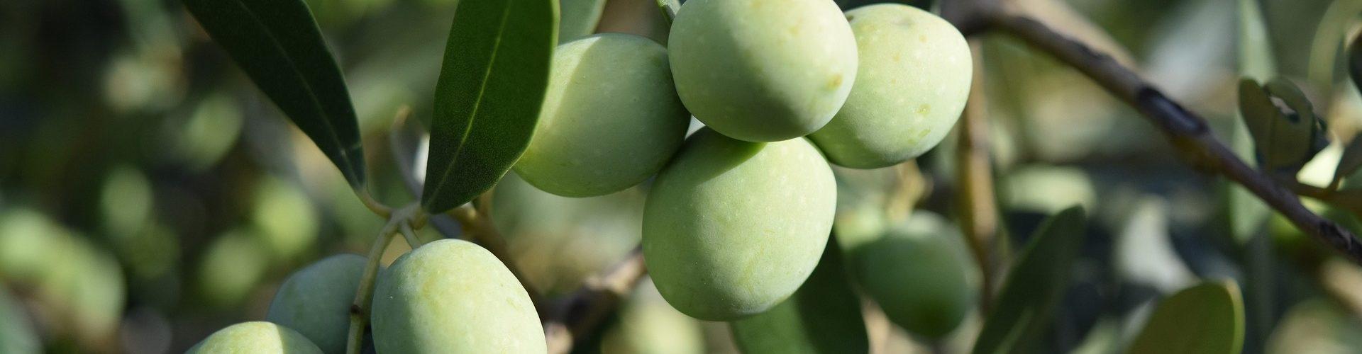 Oliver på olivträd